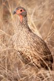 Spurfowl de Swainson (swainsonii de Pternistis) Photo libre de droits