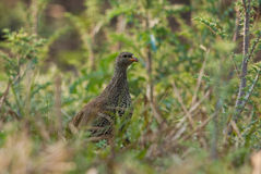 Spurfowl natal Fotografia de Stock Royalty Free