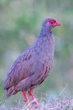 Spurfowl Necked rojo Fotografía de archivo libre de regalías