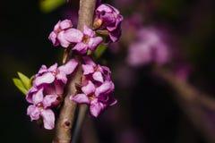 Spurge月桂树或达夫妮mezereum含毒植物绽放特写镜头有bokeh背景,选择聚焦,浅DOF 免版税库存图片