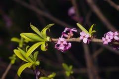 Spurge月桂树或达夫妮mezereum含毒植物绽放特写镜头有bokeh背景,选择聚焦,浅DOF 库存图片