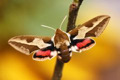 Spurge鹰飞蛾(Hyles euphorbiae) 免版税库存图片