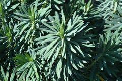 Spurge Black Pearl. Leaves - Latin name - Euphorbia Characias Black Pearl stock photos