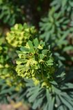 Spurge Black Pearl. Leaves - Latin name - Euphorbia Characias Black Pearl royalty free stock photography