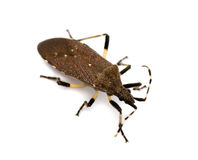 Spurge bug. (Dicranocephalus agilis) isolated on white Royalty Free Stock Images