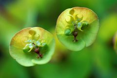 Spurge. Closeup of blossoms of spurge flowers Stock Photography