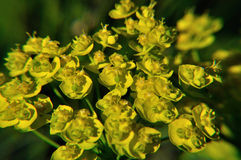 Spurge Stock Images