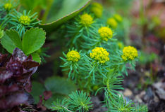 Spurge cypress  flowers. Close up in a garden Stock Image