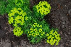 Spurge cypress. Spurge cypress grows on the loose soil of the flowerbed Royalty Free Stock Photos