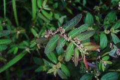 Spurge de jardin ; mauvaise herbe latifoliée Photo stock