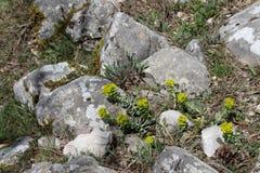 Spurge de Myrtle (myrsinites del euforbio) Foto de archivo libre de regalías