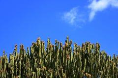 Spurge do candelabro contra o céu azul, candelabro do eufórbio, cacto, Ilhas Canárias foto de stock royalty free