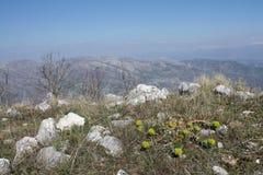Spurge du Myrte (myrsinites d'euphorbe) Photo libre de droits