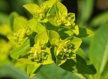 Spurge - Euphorbia nereodum Stock Image