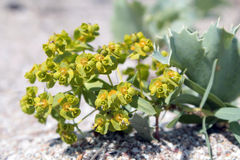 Spurge (Euphorbia stepposa) Royalty Free Stock Photography