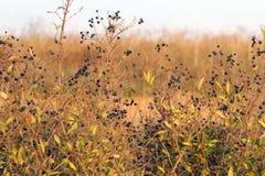 Spurge-flax Royalty Free Stock Photo