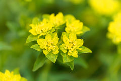 Spurge flower Euphorbia falcata Royalty Free Stock Images