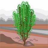 The spurge grows in nature. Beautiful and unpretentious. Euphorbia decorative juicy green twigs. Decoration of dry land in hot vector illustration