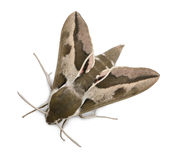Spurge Hawk, Hyles Euphorbiae Stock Image