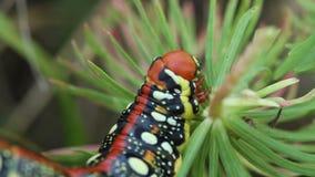 Spurge Hawk-moth caterpillar eating spurge close up stock video footage