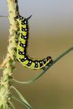 Spurge hawk-moth caterpillarHyles euphorbiae Stock Images