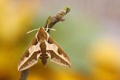 Spurge Hawk-moth (Hyles euphorbiae) Stock Photo