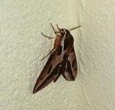 Spurge Hawk-moth Hyles euphorbiae. Female moth on the white wall Stock Images