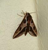 Spurge Hawk-moth Hyles euphorbiae. Female moth on the white wall Stock Photo