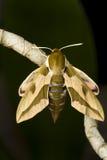 Spurge hawk  moth Hyles euphorbiae resting. On the plant Royalty Free Stock Photos