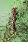 Spurge Hawk-moth On Sea-spurge Royalty Free Stock Photos