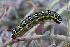 Spurge Hawkmoth caterpillar Royalty Free Stock Photo