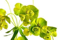 Spurge lustrous Stock Image