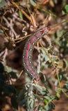 Spurge moth catapillar Royalty Free Stock Photo