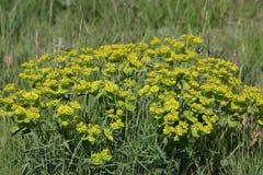 Spurge of nice bloom. Euphorbia nicaeensis Stock Image