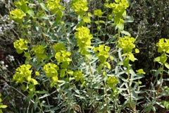 Spurge. Plant in summer, Euphorbia serrata Royalty Free Stock Photography