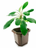 A spurge in a pot isolated Stock Photo