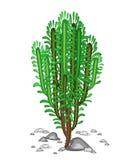 Spurgen växer i natur Härligt och anspråkslöst Dekorativt saftigt grönt ris för Euphorbia Garnering av torrt land i varmt vektor illustrationer