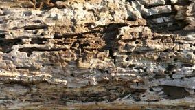 Spurhaltung des alten Baums des Schusses nach Termiten stock footage