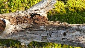 Spurhaltung des alten Baums des Schusses nach Termiten stock video