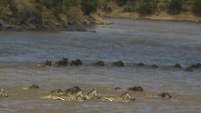 Spurhaltung des Schusses der Gnu- und Zebraschwimmens über Mara River auf Masai Mara Game Reserve stock video footage