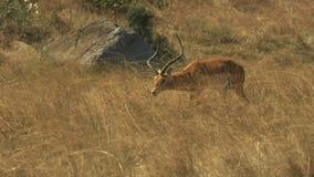 Spurhaltung des Schusses einer Impala, die auf Masai Mara Game Reserve geht stock video footage