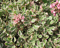 Spurium de Sedum Photo libre de droits
