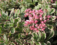 Spurium de Sedum Photos stock