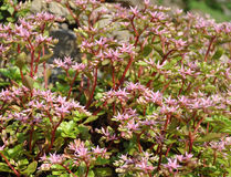 Spurium de Sedum (fond) Photos stock