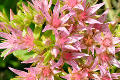 Spurium de sedum (rockcress) Photos libres de droits