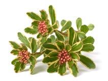Spurium de sedum tricolore Image libre de droits