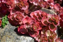Spurium Sedum κόκκινου χαλιού Sedum Στοκ Εικόνα