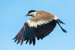 Spurr-подогнали ржанка в полете Стоковая Фотография RF