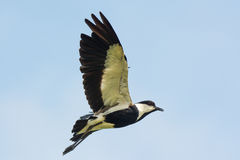Spurr-подогнали ржанка в полете Стоковые Фото