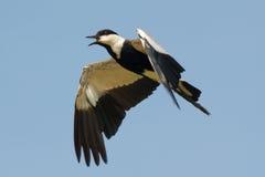 Spurr-подогнали ржанка в полете Стоковое Изображение